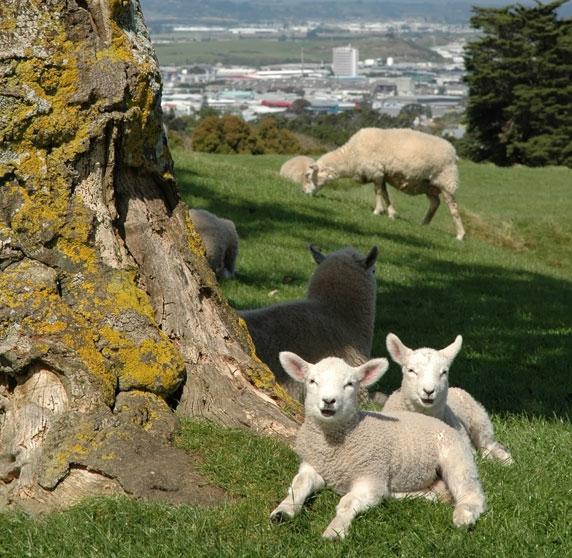 羊も木陰で涼んでいます