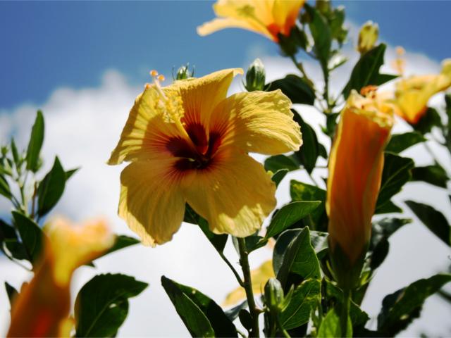 ハワイのお花