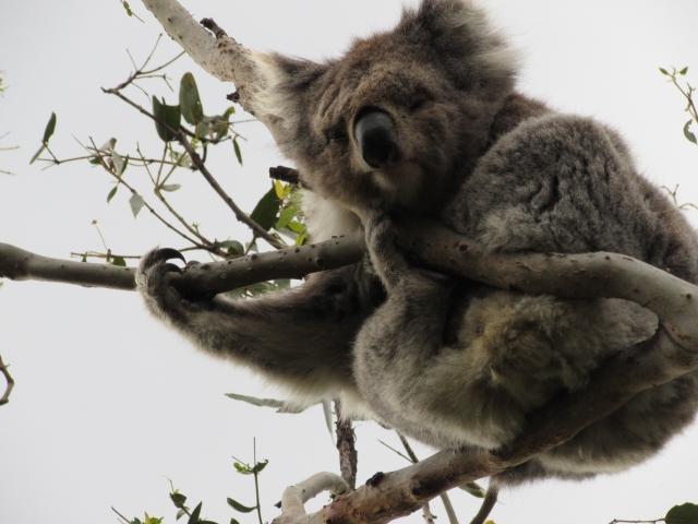 なんと!野生のコアラを発見