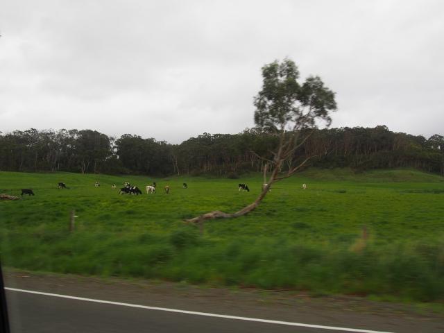 緑茂る牧草地では牛が草を食んでいた