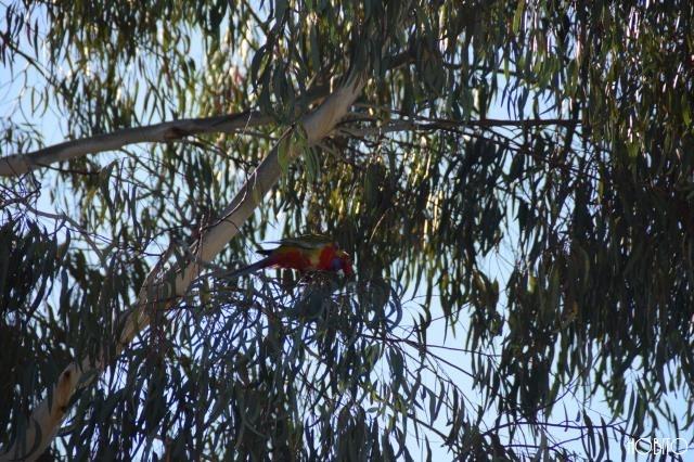 オーストラリアの鳥はカラフルです