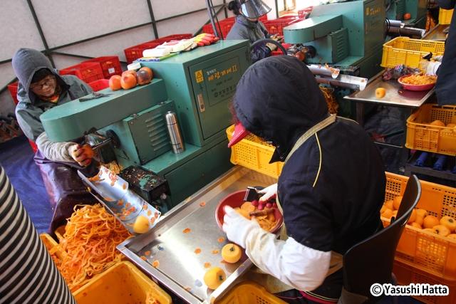 柿の皮をむいているところ。むかれた皮は尚州韓牛の飼料にもなる