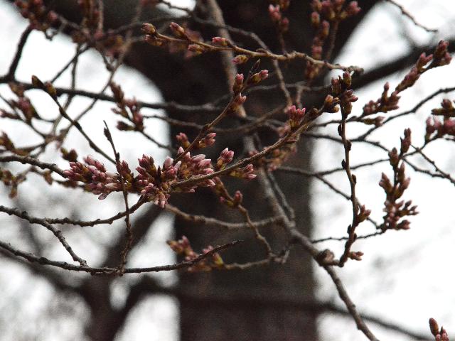 ルーズベルト記念公園の真向かいの桜の老木が一足早く開花