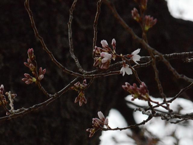 2月27日ワシントンDCタイダルベイスンのソメイヨシノが開花