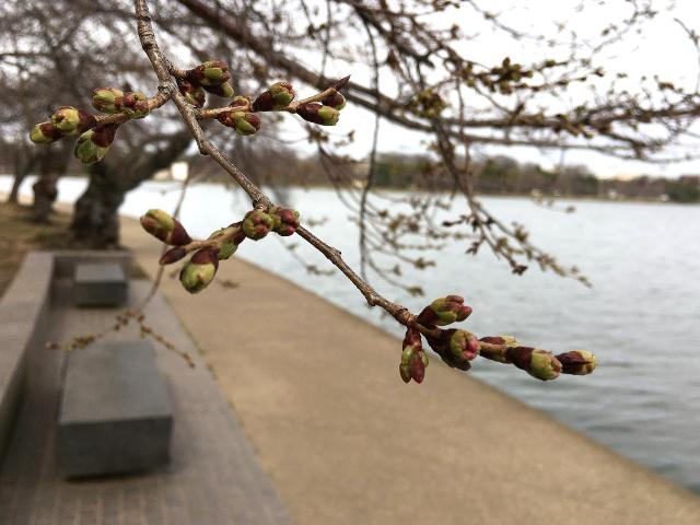 ワシントンDCのFDR記念公園の脇の桜が開花