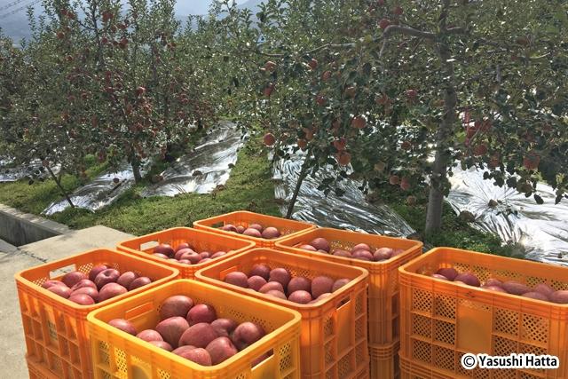栄州はリンゴの名産地。町の至るところでリンゴ畑を見かける