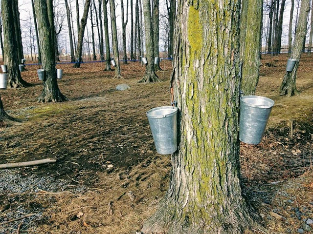 メープル樹液を溜めるバケツ