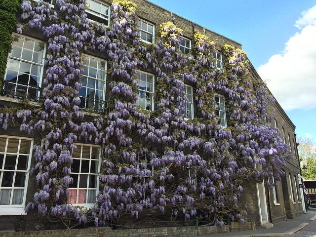 樹齢200年以上 イギリス最古の藤