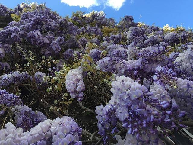 地上から見上げた藤の花 見事な咲きっぷりに見惚れて