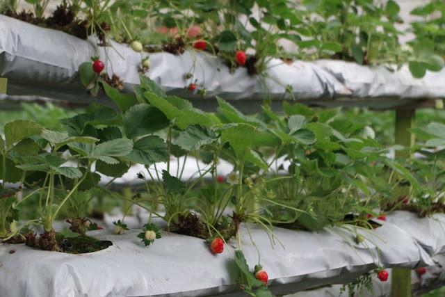 露地栽培のいちご棚