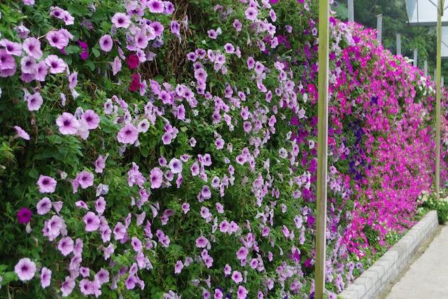 ラベンダーガーデンでは壁にも植栽されている