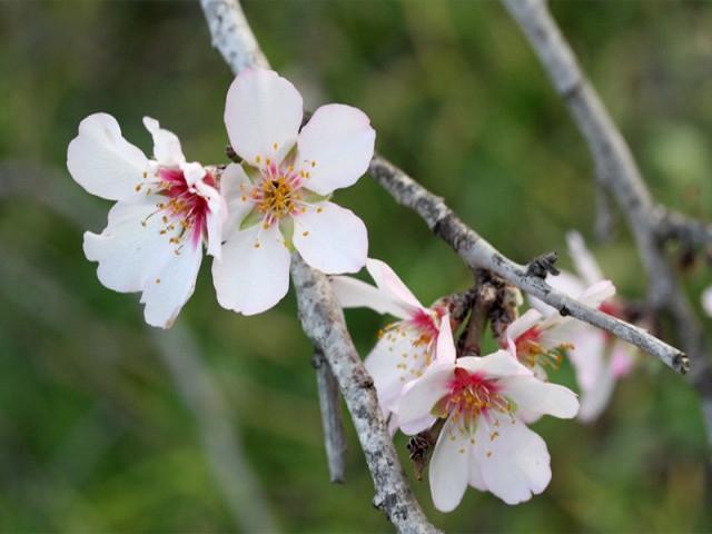 桜みたいなアーモンドの花   写真Wikipediaより