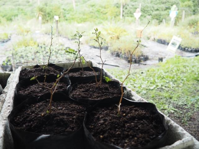 植林できる大きさまで育てます