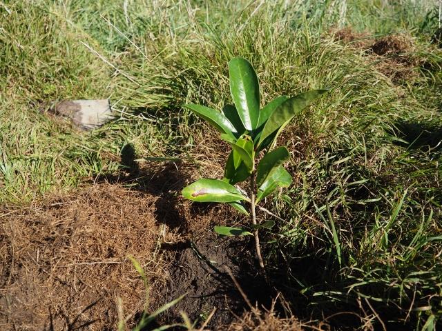 一本一本、丁寧に植樹していきます