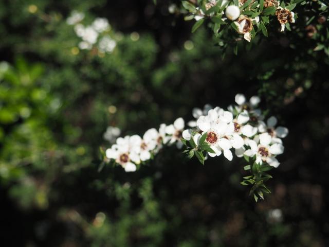 咲き誇る白いマヌカの花