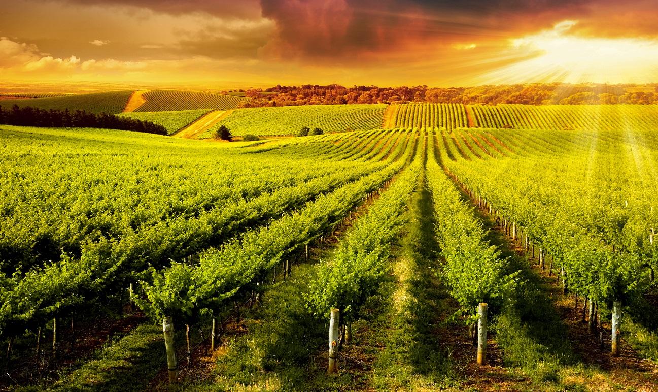 金色のブドウ畑